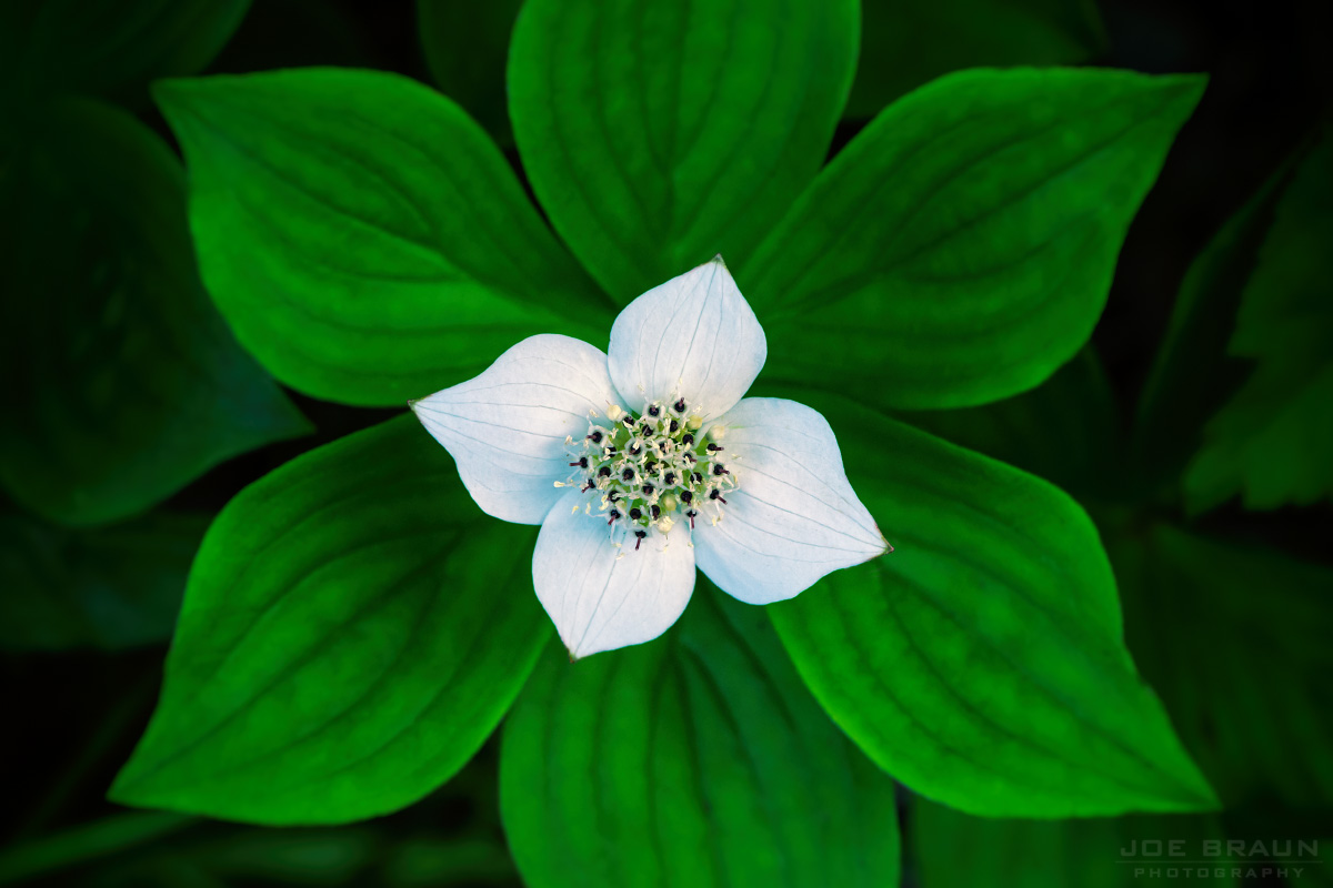 Bunchberry Flower along Great Head Trail photo (Acadia National Park) -- © 2014 Joe Braun Photography